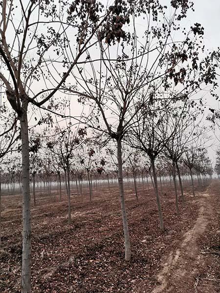 山西精品北栾 济宁市任城区禾盛苗木种植供应