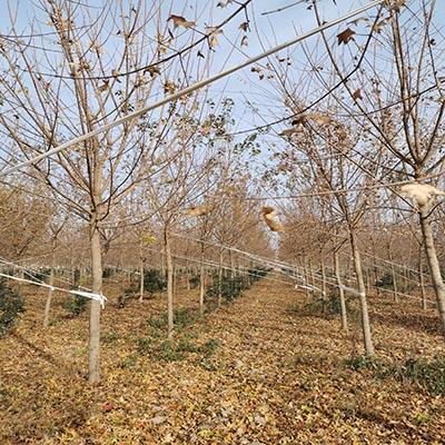 安徽五角楓圖片 濟寧市任城區禾盛苗木種植供應