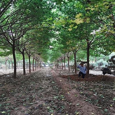重庆14公分五角枫 济宁市任城区禾盛苗木种植供应