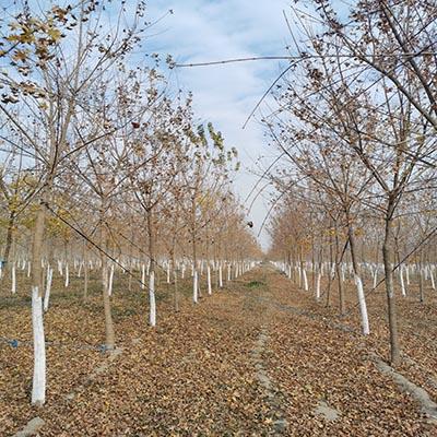 5公分元宝枫苗圃直销 济宁市任城区禾盛苗木种植供应