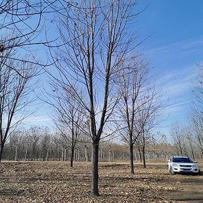 湖南12-13公分白蜡 济宁市任城区禾盛苗木种植供应