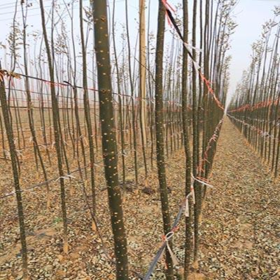 湖北国槐小苗多少钱一棵 济宁市任城区禾盛苗木种植供应
