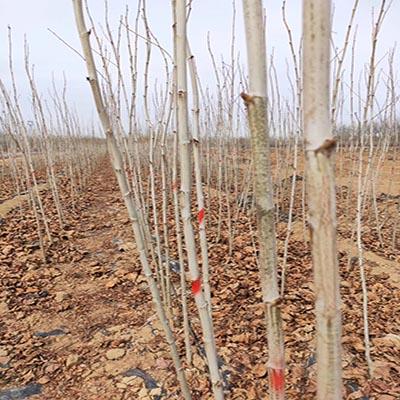 陕西法桐小苗推荐商家 济宁市任城区禾盛苗木种植供应
