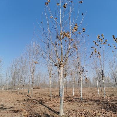 长丰法国梧桐批发价格「济宁市任城区禾盛苗木种植供应」