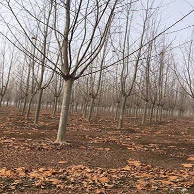 陕西法国梧桐批发 济宁市任城区禾盛苗木种植供应