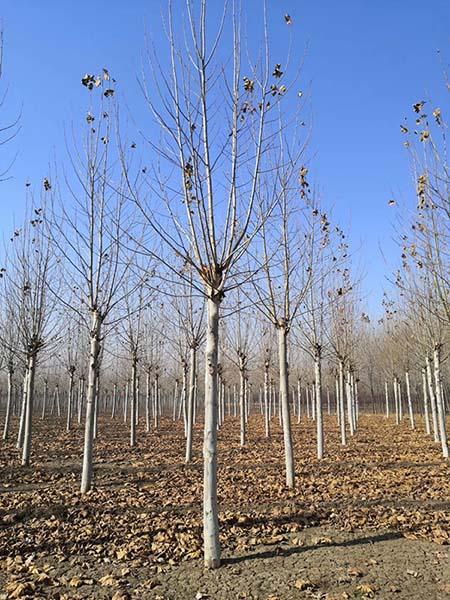 李营7公分法桐 济宁市任城区禾盛苗木种植供应