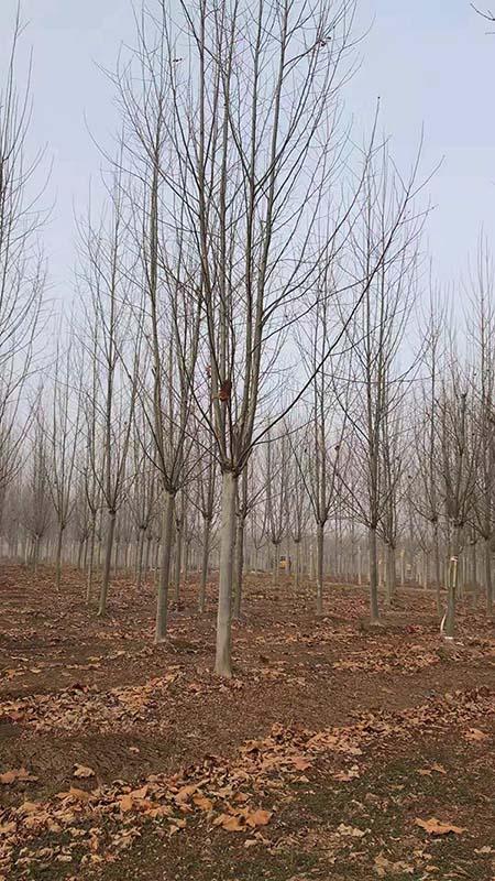 山东大骨架法桐 济宁市任城区禾盛苗木种植供应