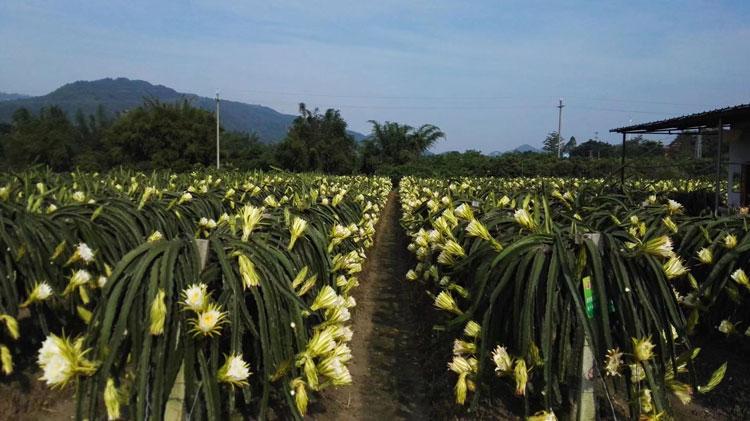 白水晶火龙果栽培 欢迎来电 广州市增城大乡里果树种植供应