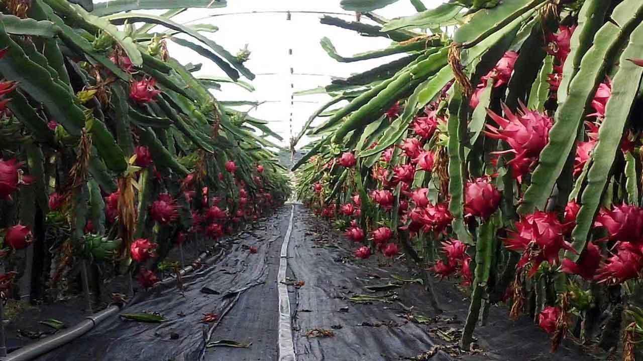 贵州软枝大红火龙果种植 欢迎来电 广州市增城大乡里果树种植供应