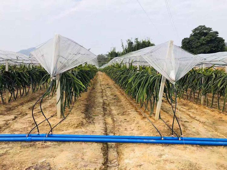 湖南大红二号火龙果 欢迎咨询 广州市增城大乡里果树种植供应
