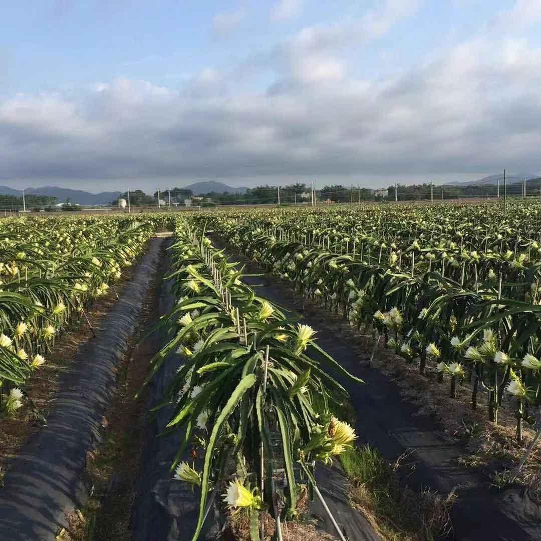 福建火龙果种植辅导 欢迎来电 广州市增城大乡里果树种植供应