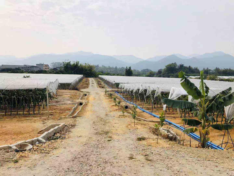 大红二号火龙果苗销售 欢迎咨询 广州市增城大乡里果树种植供应
