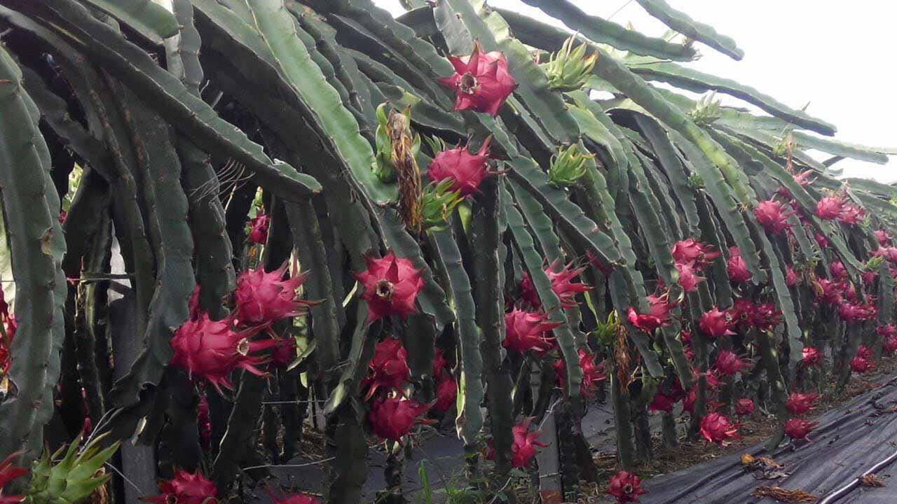 鄂州黄龙果火龙果 欢迎咨询 广州市增城大乡里果树种植供应
