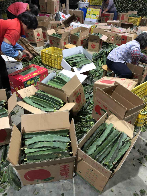 海口黄锦火龙果 欢迎来电 广州市增城大乡里果树种植供应