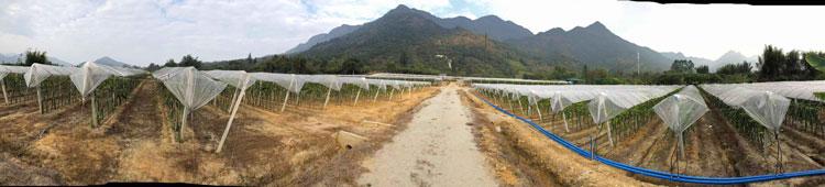上饶火龙果苗批发 欢迎咨询 广州市增城大乡里果树种植供应