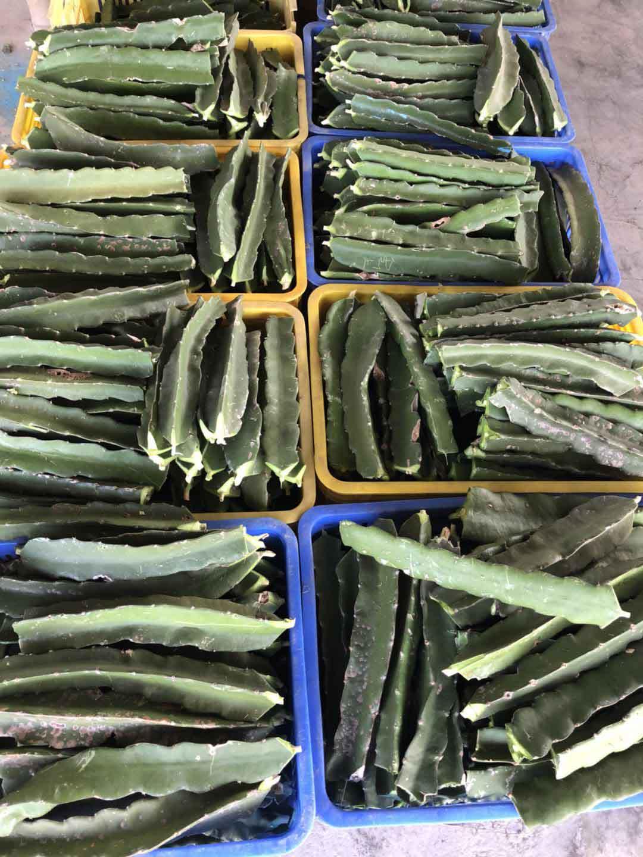 襄阳火龙果苗批发 欢迎咨询 广州市增城大乡里果树种植供应
