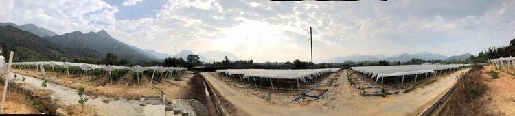 台州黄龙果火龙果 欢迎来电 广州市增城大乡里果树种植供应