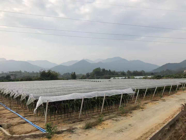云南红心火龙果苗批发 欢迎咨询 广州市增城大乡里果树种植供应