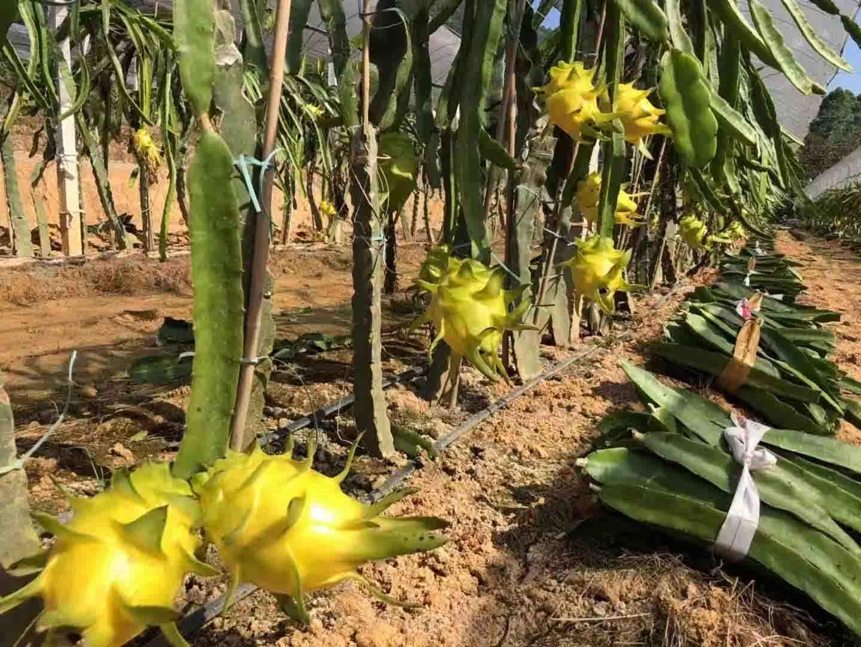 以色列无刺黄龙果种植 欢迎来电 广州市增城大乡里果树种植供应