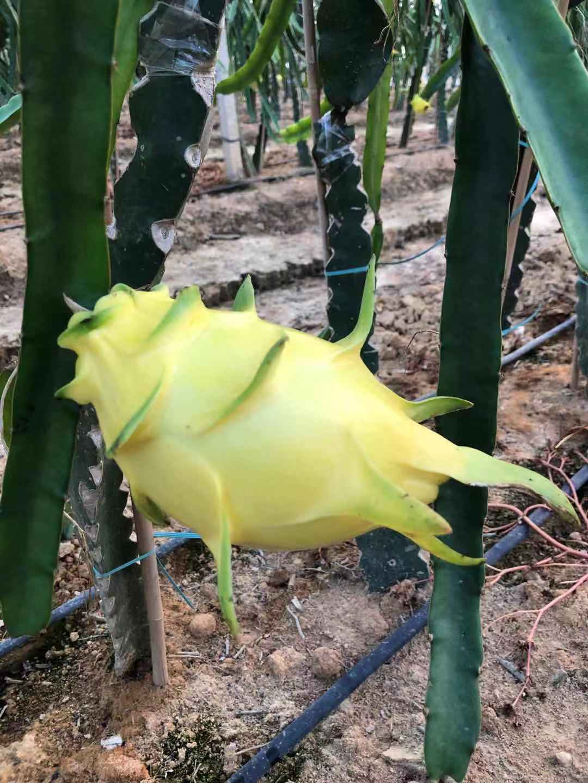 無刺黃龍果種植輔導 歡迎來電 廣州市增城大鄉里果樹種植供應