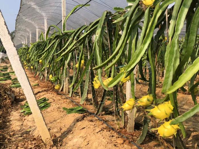 以色列无刺黄龙果种苗,黄龙果