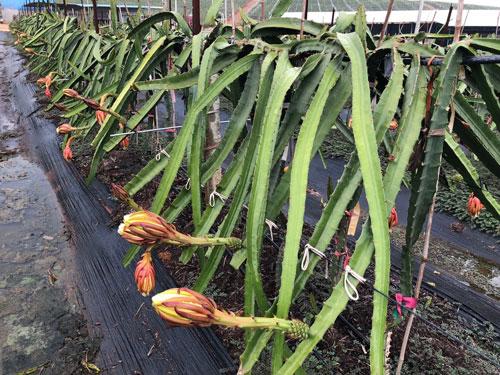 赣州麒麟果苗批发 欢迎来电 广州市增城大乡里果树种植供应
