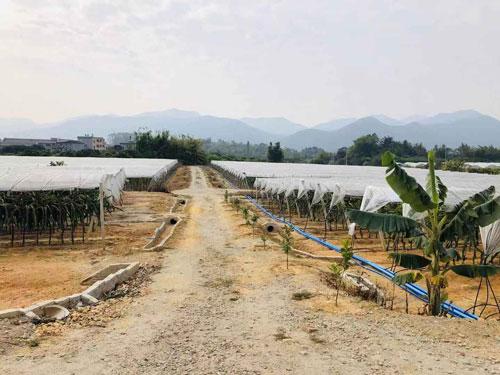 绍兴麒麟果苗 欢迎咨询 广州市增城大乡里果树种植供应