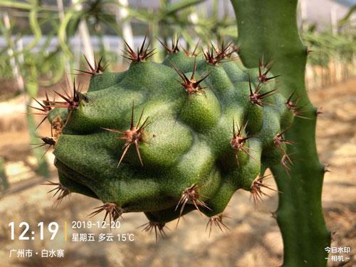 孝感燕窝果种植 欢迎来电 广州市增城大乡里果树种植供应