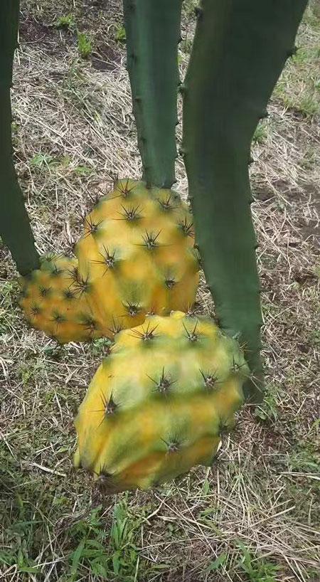 咸寧燕窩果種植 歡迎來電「廣州市增城大鄉里果樹種植供應」
