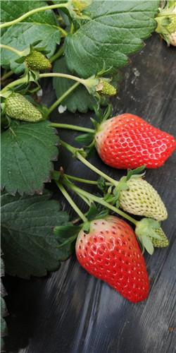 淄博甜宝草莓采摘多少钱,采摘