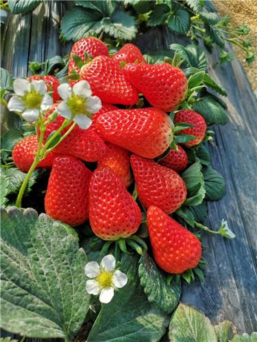 附近草莓采摘哪家好,采摘