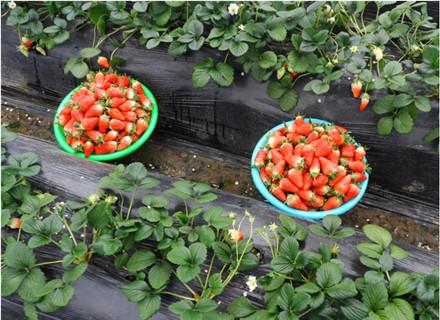 张店牛奶草莓采摘大棚「淄川中玺草莓采摘供应」