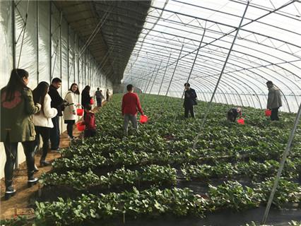 濟南周邊草莓采摘基地,采摘