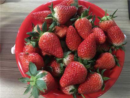 青岛草莓采摘哪家便宜,采摘