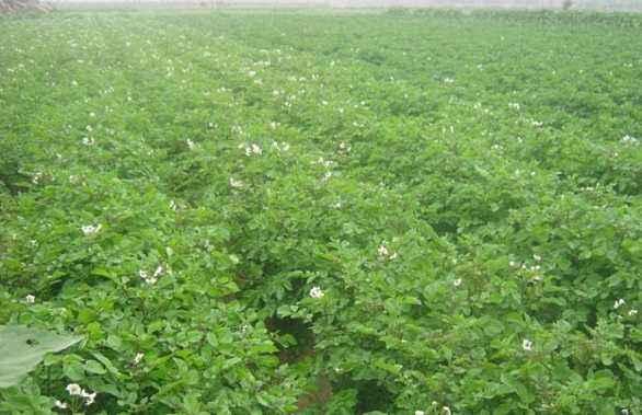 海東黑美人土豆哪里賣 信息推薦「榆中茂源土豆產銷供應」