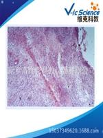 上海原装组胚病理切片「维克科教供」