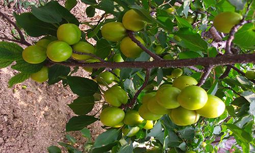 临淄郊区水果采摘,兜果果