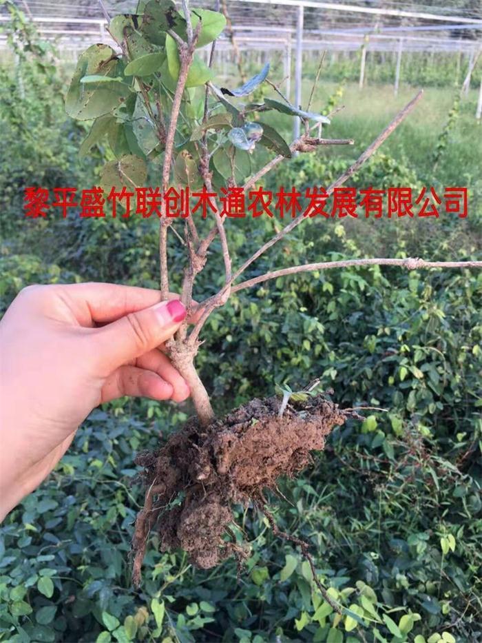优质八月瓜苗源头直供「盛竹联创供应」