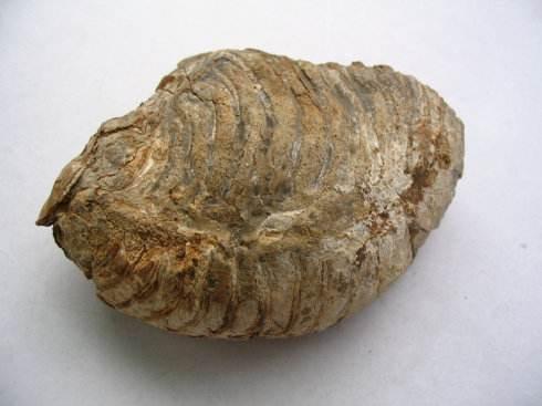 甘肃贝化石价格,贝化石