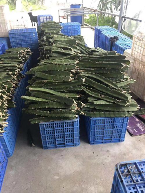 黄皮火龙果种苗批发商