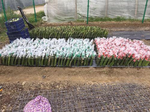 厦门巴西红皮燕窝果苗 服务为先 厦门耕泓农业科技供应