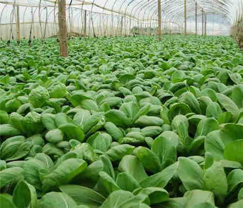 吴江区有机蔬菜厂家供应 苏州禾子生态食品供应