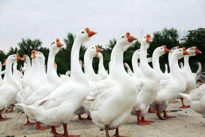 随州大品种鹅苗市场前景如何,大品种鹅苗
