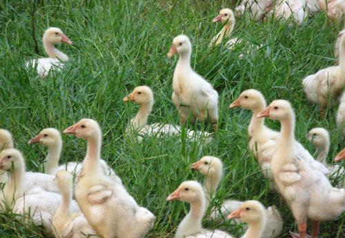洛阳皖西鹅苗价格 有口皆碑「宛城区振山西洼家禽孵化供应」