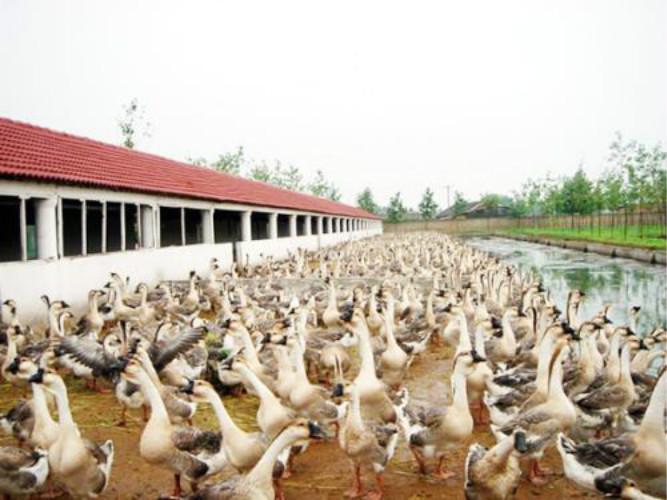 咸阳鹅苗养殖厂家实力雄厚 服务为先「宛城区振山西洼家禽孵化供应」
