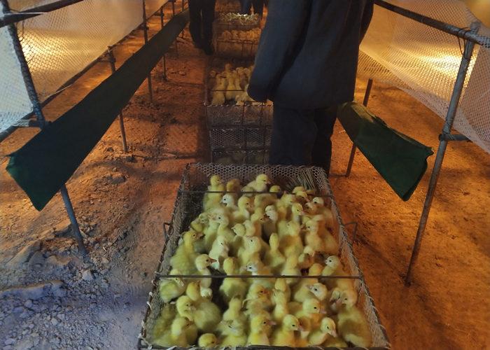 安庆养鹅基地哪家好 推荐咨询「宛城区振山西洼家禽孵化供应」