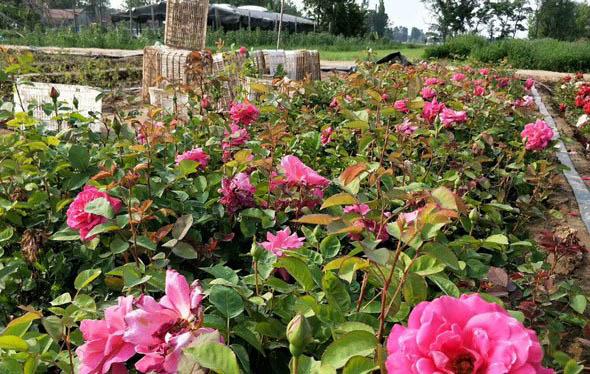 重庆优质大花月季厂家直供 值得信赖「青州市树春花卉苗木供应」