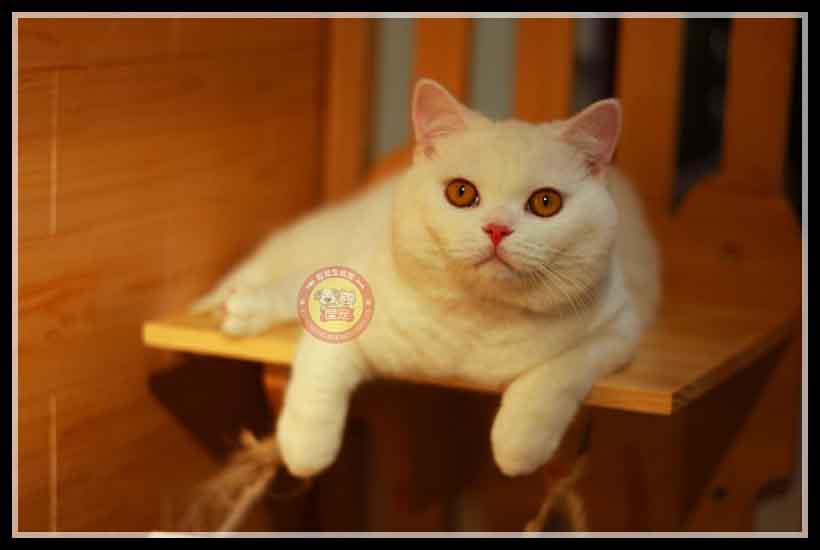 南市区高颜值纯白英短猫,纯白英短