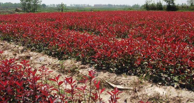 吉林2.5米红叶石楠 服务至上 南京市浦口区远近苗圃供应