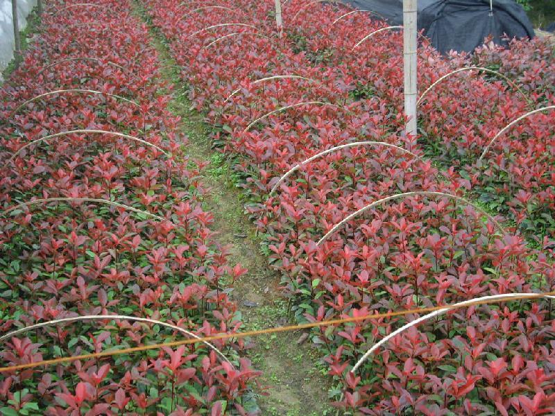 广州50-60公斤红叶石楠